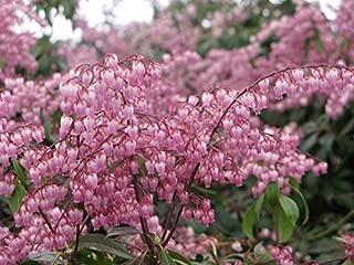 Pieris Japonica 'Katsura' (2 Qt.)