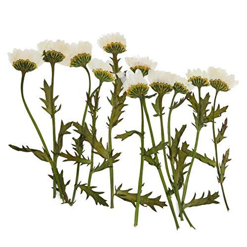 WQAZ Prägung 12 stücke echte gepresste Blumen verschönerung hochzeitseinladung skrapbook DIY Handwerk für Harz Handwerk Telefon case schmuck Make Vasenfüllung