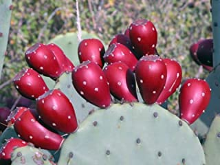 2 Winter Hardy Easy2Grow Spineless Prickly Pear Opuntia Cactus Pads - Ships FREE
