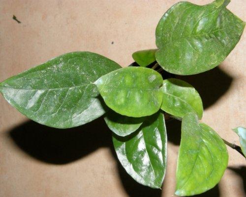 Mühlan Wasserpflanzen 1 Topf Anubia Nigeria, Neuheit, Rarität