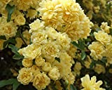 Ship Spring 2020 Climbing Rose Plant Potted, Very Fragrant Flowers, Own Root (Lady Banks Yellow)