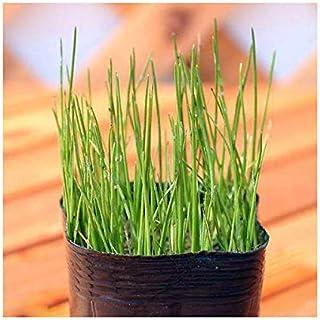 (ビオトープ)水辺植物 ヒメホタルイ(1ポット) 抽水~湿性植物 (休眠株)