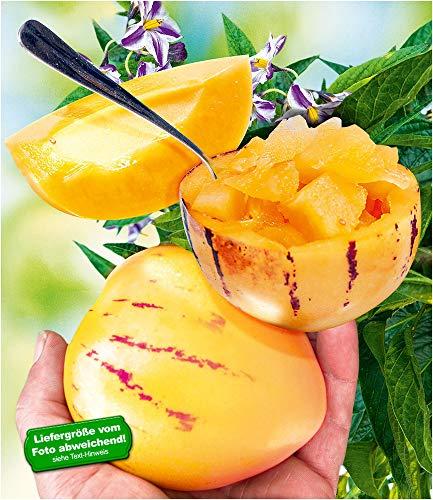BALDUR Garten Melonenbirne 'Sugar Gold®', 1 Pflanze Solanum muricatum Birnenmelone Sugar Gold Melonenpflanze