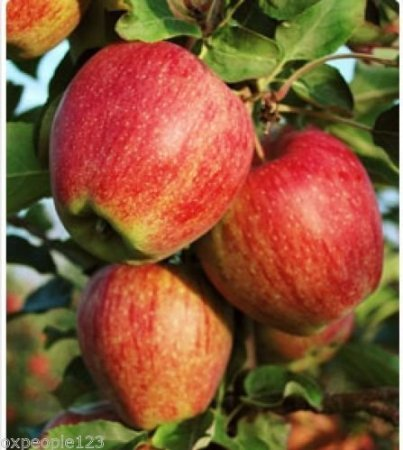12 Cameo APPLE TREE Malus Native Domestics Fruit Flower Seeds