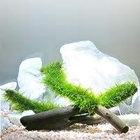 (水草)育成済 南米ウィローモス スティック流木 Mサイズ(約20cm)(無農薬)(1本)