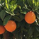 Naranjo - Maceta 22cm - Altura aprox. 1'10cm. - Planta viva - (Envíos sólo a Península)