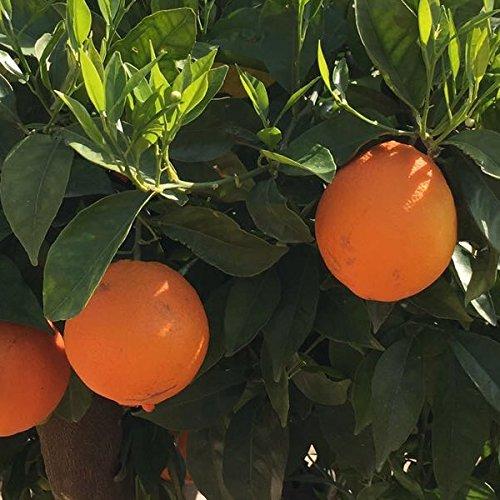 Naranjo para cultivo en huerta, jardín o maceta. Naranjas muy dulces y muy buen sabor. Excelente para mesa, buen jugo. Planta de 2 años. 2 años más para producción de frutos. Nombre científico: Citrus sinensis