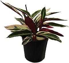 AMERICAN PLANT EXCHANGE Stromanthe Tri Color Ginger Live Plant, 3 Gallon, Multicolor