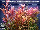 Rotala Rotundifolia RED Live Aquarium Plant Freshwater - Buy 2 Get 1