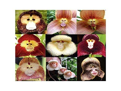 100 PCS cara del mono orquídea tropical de la mezcla Semillas Planta rara flor exótica Bonsai