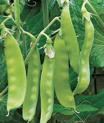 SEED PEA, sugar daddy, HEIRLOOM, ORGANIC, NON OGM POIS PERFECT