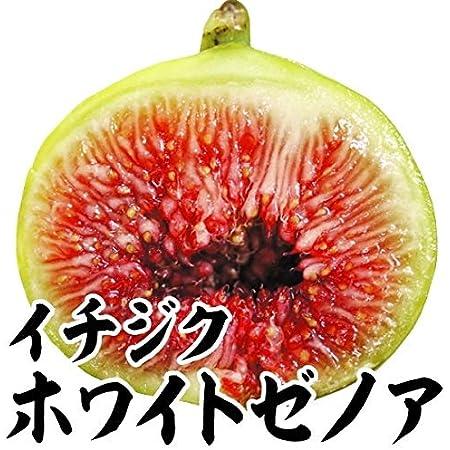 国華園 果樹苗 イチジク ホワイトゼノア 1株 /21年秋商品