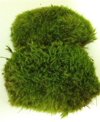 Living Moss - Great For Bonsai, Terrariums