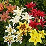 Adolenb Jardin- Mélange de 50 lis asiatiques, parfum géant, graines de fleurs de lis, fleurs de lys décoratives exotiques, plantes vivaces robustes pour balcon, jardin