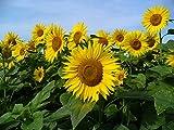 50 graines Fleurs - TOURNESOL Soleil - haie végétale - Helianthus annuus