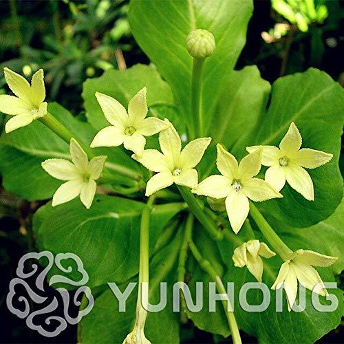 50 Stücke Französisch Bouvardia Longiflora Blumenstrauch Busch Samen Erstaunliche Garten Töpfe Pflanzgefäße Bonsai Pflanze Baum Blumen