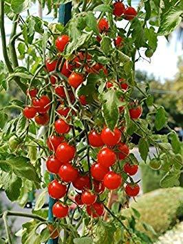 VISA STORE 15 Semillas de Tomate híbrido Poco Bing