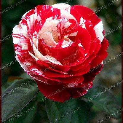 50 Pcs/Sac rares Graines Rose 24 couleurs au choix Belles graines de fleurs vivaces Balcon Jardin en pot Plante bricolage jardin 3