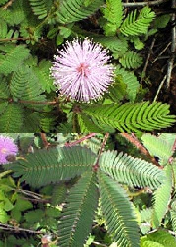 TROPICA - Echte Mimose (Mimosa pudica) - 70 Samen