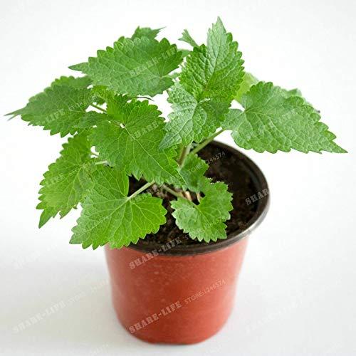 100 Stück Agastache Rugosa Bonsai Patchouli Herb Licorice Bonsai-Blumen-Anlage Fancy Ageratum Crown für Haus und Garten