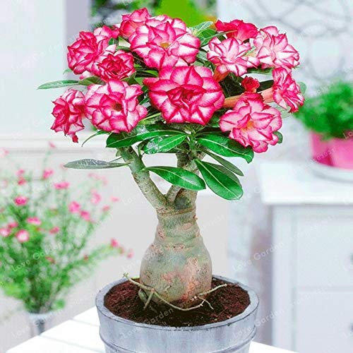 Bloom Green Co. Desert Rose Bonsai Flores en maceta Bonsai Adenium Obesum Planta de bonsai para interiores Mini árbol en maceta para jardín en casa Planta 1 piezas: 2