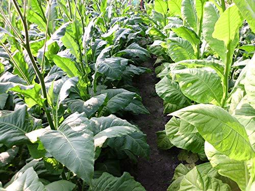 3000 Tabak Samen Virginia - Burley Mischung Ernte 2020 Tabakpflanzen