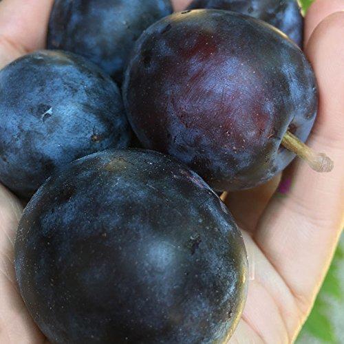 Su-eat 特選 生プルーン アーリーリバー 2キロ 減農薬 長野県産