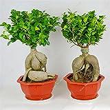 Exótico Bonsái Banyan Tree Oficina Semilla Semilla turística Ficus Ginseng, Perenne Ficus Microcarpa El florecimiento de Tasa de 95% de 10 PC