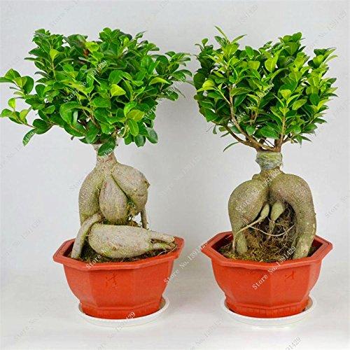 Exotique Bonsaï Banyan Tree Seed Bureau Bureau Ficus ginseng semences, vivaces Ficus Microcarpa Le bourgeonnant Taux 95% 10 Pcs