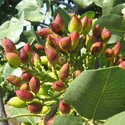 TOYHEART 5 Piezas De Semillas De Frutas De Primera Calidad, Semillas De Pistachos Sin OMG Fáciles De Plantar Semillas De árboles De Pistachos Frescos Para Jardín Verde