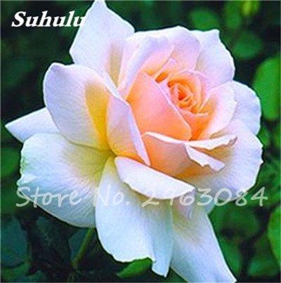 Big Promotion! 24 couleurs des plantes en pot Rose Graines Graines de fleurs vivaces intérieur Bonsai planter des fleurs Semences-200 Pcs 22
