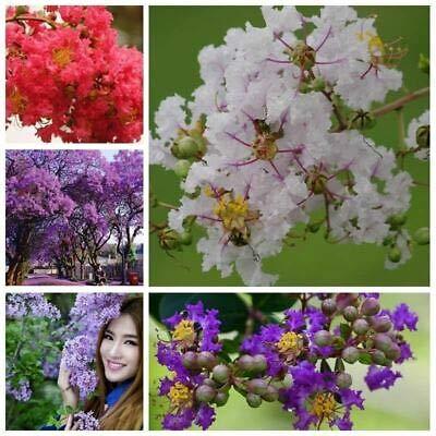 Nouveaux 100pcs d'arrivée / lot Graines jardin Crêpe Myrtle Crape Arbre Arbuste Lagerstroemia Fleur
