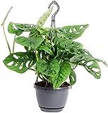 Planta colgante Monstera en un colgador de 15 cm, planta purificadora de aire en maceta colgante