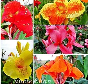 Fash Lady Jaune: Graines de fleurs Graines en pot Graines de Lys Canna - PRETORIA - Feuillage panaché - Livraison de fleurs exotiques 20 pcs B083