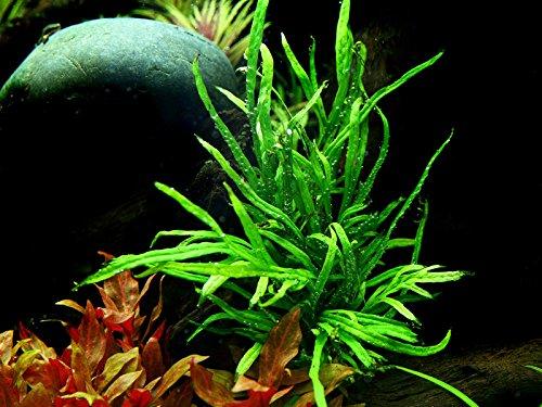 Tropica Aquarium Pflanze Microsorum pteropus Trident Wasserpflanze Topf Nr.008G Aquariumpflanzen