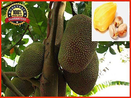 Potseed Germination Les graines: 20pcs Miel Graines jacquier Tropical Fruit Graine, Jardin des Plantes graines