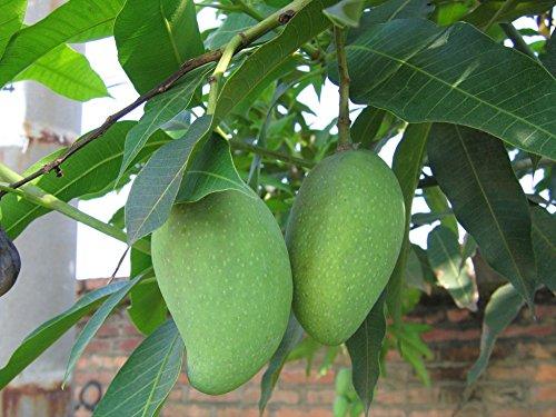 Promotion Vente Pots Planters fruits Graines Sementes 100Pcs 1100% Véritable frais Ficus Carica Fig Fruit Graines Arbre