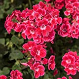 Pflanzen Kölle Geranie 'Savannah TexMex Ruby', 6er-Set, rot-weiß, Topf 13 cm Ø