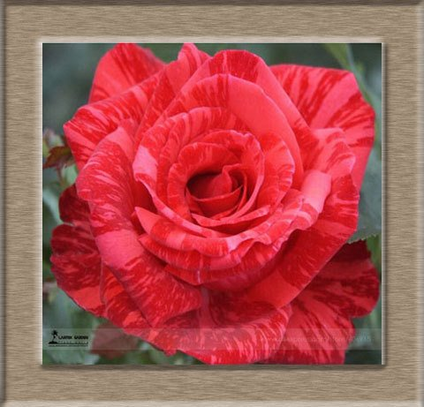 200pcs / Pack Rare Pays-Bas Rainbow Rose Flower Seed Outdoor Blooming Bonsai Plante en pot décoratif Decor Garden Livraison gratuite 10