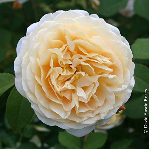 """Pflanzen Kölle Englische Rose """"Teasing Georgia"""" von David Austin - zartgelb blühende, angenehm duftende Topfrose im 6 L Topf - frisch aus der Gärtnerei Gartenrose"""