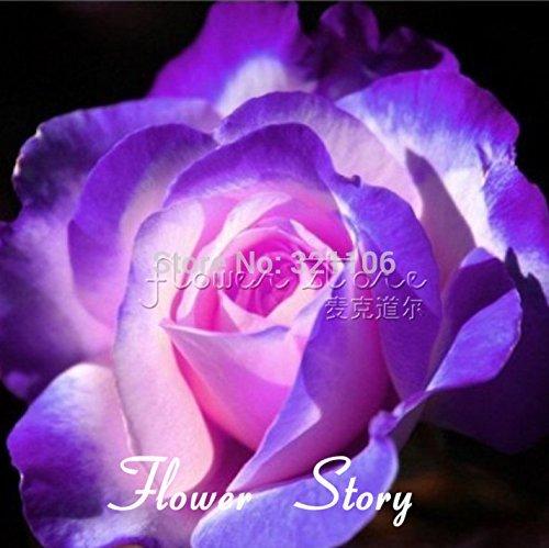 Livraison gratuite 20 Bleu et Rose Rose Seeds, couleur rare, riche en arôme, bricolage jardin Rose usine promotion fou