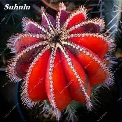 100 Pcs vrai Graines de Cactus mixte, intérieur Mini Cactus, Figuier, Graines Bonsai Fleur, Plante en pot pour jardin So Rare 12