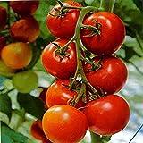 NurseryServe Organic Tomato Pusa Ruby Seeds - (50+ Seeds)