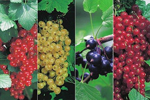 Johannisbeeren-Sortiment - 4er Kombination 2 x rote, 1 x weiße & 1 x schwarze Johannisbeerensorte