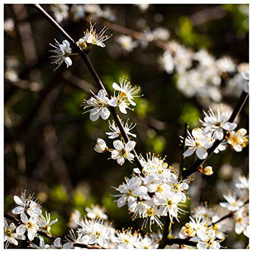 5 Hawthorn 1-2ft Hedging in 1L Pot,Plant,Whitethorn,Quickthorn,Thorny Native Hedge 3fatpigs®