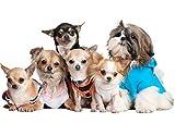 Apalis Wandtattoo No.277 Chihuahuas and a Shi Hunde Chihuahuas Klein Haustier Freund