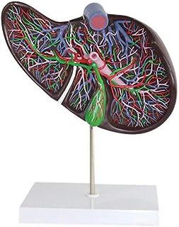 ヒト消化器官肝胆嚢胆嚢解剖学的モデル1.5倍の倍率胆嚢と胆管システム
