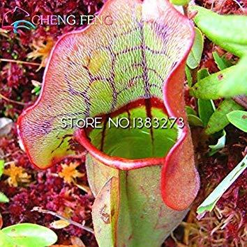 VISTARIC 10 Semillas - Jamaica semilla de calabaza (Calabaza) indios Aka Amir, calabaza haitianos y cubanos Squash