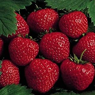 25 Earliglow Strawberry Plants - Bareroot - The Earliest Berry!