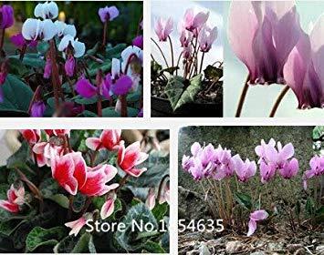 Gartenpflanze 100 Alpenveilchen Samen, Topf Balkon, Pflanzen Jahreszeiten, sprießen Blumensamen Bonsai Samen